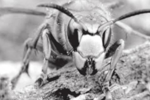 'Murder hornets' have arrived in the U.S.—here's what you should know