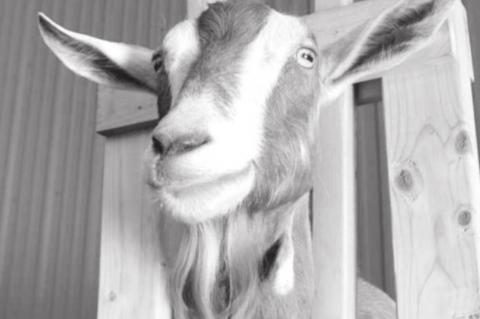 Learn Self-Sufficiency with a Dairy Goat